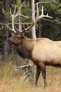 Bull Elk watching traffic in Yellowstone National Park