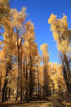 Cottonwoods along the Gros Ventre River - GTNP Wyoming