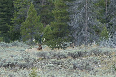Bull Elk tending his harem - Jackson Hole, Wyoming