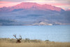 Bull  Elk enjoys the purple mountains' majesty in Yellowstone National Park