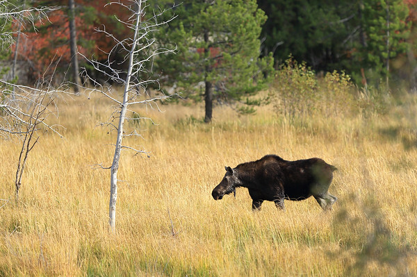 Cow moose along Moose-Wilson Road in Grand Teton National Park