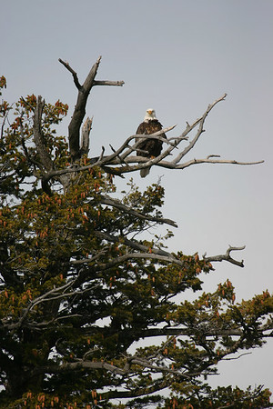 Bald Eagle on the Snake River