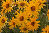 Mule's Ear or Balsamroot?  The debate rages on....