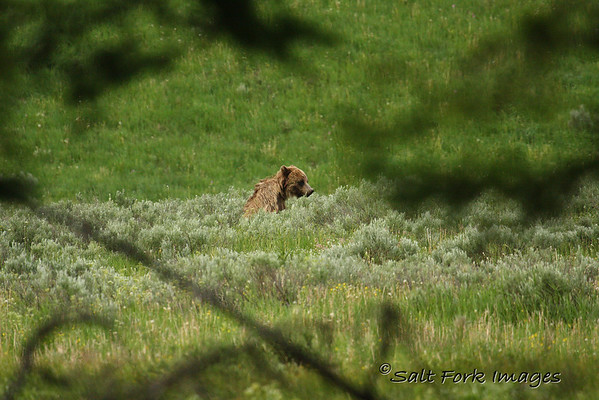 Grizzly Profile!