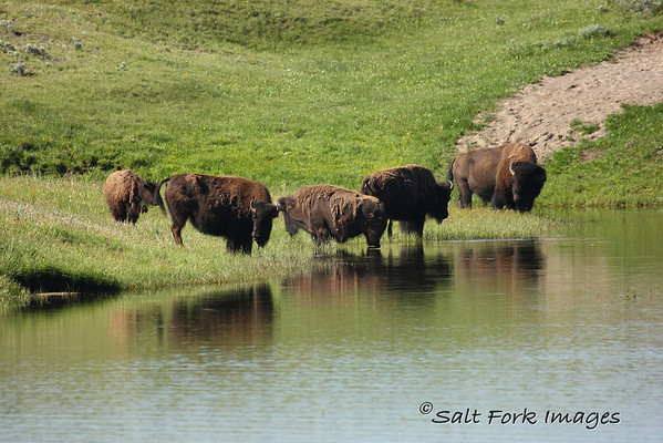 Hayden Valley is a great place in YNP to spot bison.