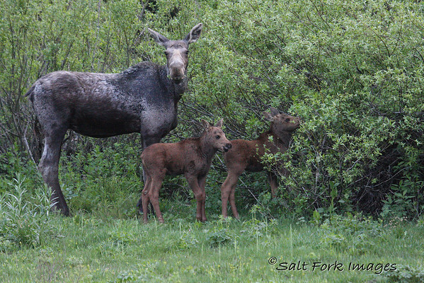 Moose twins in Teton Canyon on the west side of the Teton range near Driggs, Idaho.