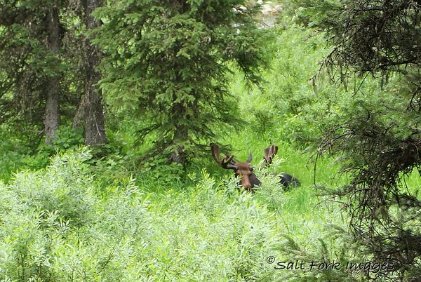 This bull moose was lounging alongside the trail on the way to Lake Solitude in Cascade Canyon.