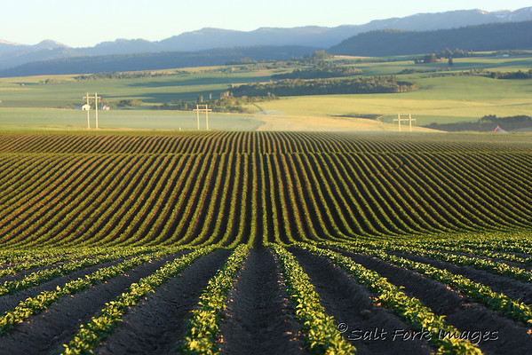 Potato fields with the Big Hole Mountains in the background.