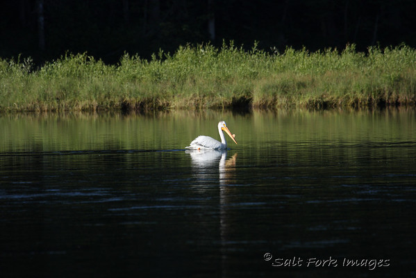 Pelican - from a long way off.