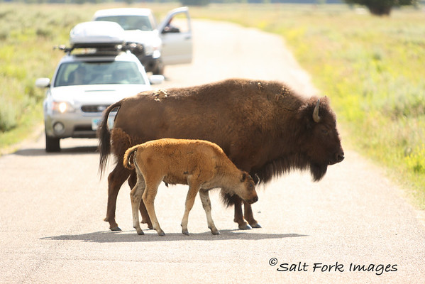 When you live in a national park, you learn from an early age that you are the star of the show and you can stop traffic any time you want.