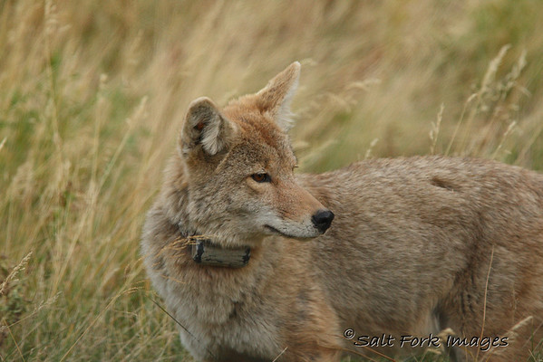 Coyote with extra batteries.....?