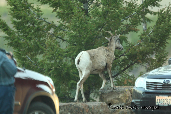 Bighorn Sheep in Yellowstone standing on the retaining wall to get a better view of the scenery.
