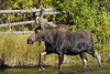Momma Moose in Wilson, Wyoming.