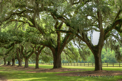 Southern Live Oak draped with Spanish Moss - Boone Hall Plantation - Mount Pleasant, South Carolina