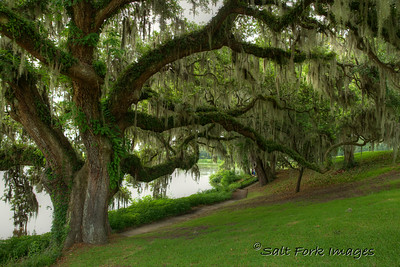 Live Oaks along the Ashley River at Middleton Place Plantation near Charleston, SC