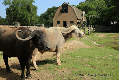 Middleton Place Plantation used Water Buffalo to work the rice fields.
