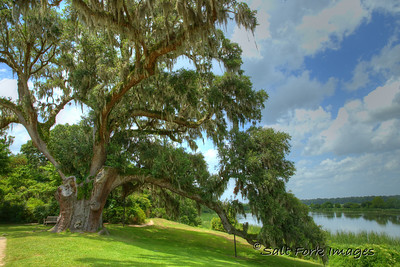 Constitution Oak at Middleton Place Plantation