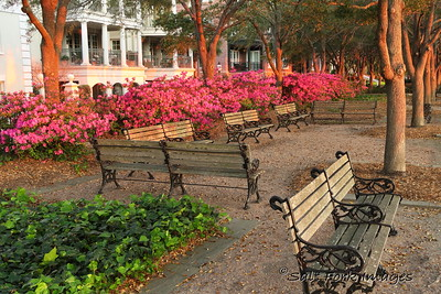 Azaleas blooming in Waterfront Park - Charleston, SC