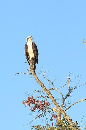 Osprey at Habersham - Beaufort, South Carolina