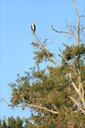 Osprey at Habersham - near Beaufort, South Carolina