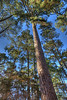 Pine trees in the South Carolina Botanical Garden - Clemson, SC.
