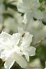 Azaleas in President's Garden - Clemson University