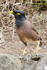 Myna Birds are everywhere on Maui. They look just like Mocking birds when they fly.