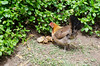 Feral chickens are a problem on Maui
