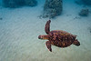 Swimming Hawaiian Green Sea Turtle