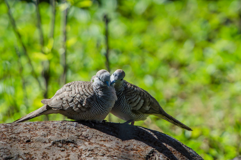 Zebra Doves -  Everywhere I go in the tropical South Pacific I hear these birds. It was nice to finally see a pair.