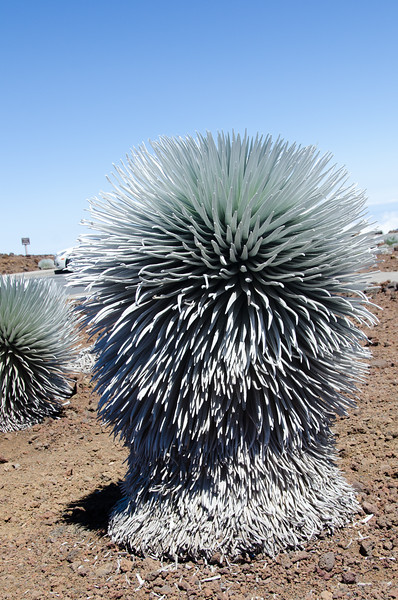 This large Silversword sits near the Kalahaku Overlook at 10,000 feet!