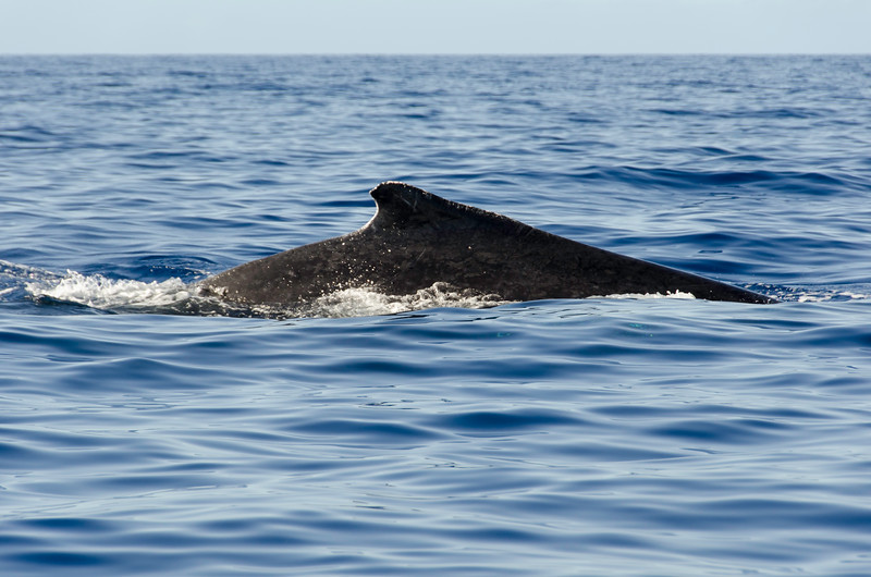 Humpback Whale swimming by the boat