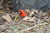 A Northern Cardinal greets us as we return to the car.