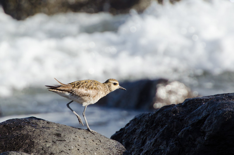 A Wandering Tattler hops between boulders in front of our hotel