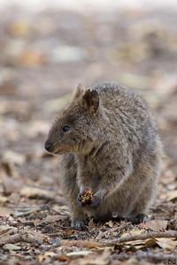 Australia, Western Australia, Rottnest Island: Quokka.