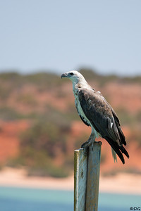 Australia, Western Australia, Monkey Mia: Juvenile White-bellied Sea Eagle on a navigation mark.