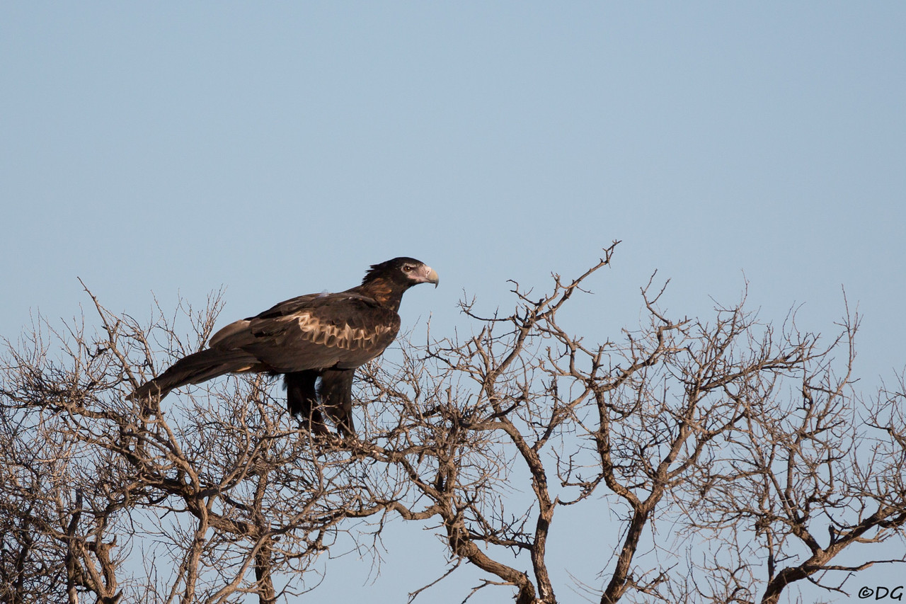 Australia, Western Australia, North West Coastal Hwy near Lake Macleod: Wedge-tailed Eagle in the evening.