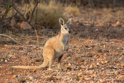 Australia, Western Australia, Cape Range National Park: Young Kangaroo.