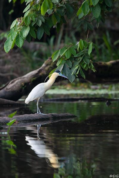 Ecuador, El Oriente, Yasuni National Park, Añangu Lake: Capped Heron (Svartkronad häger).