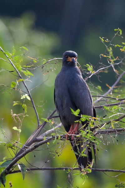 Ecuador, El Oriente, Yasuni National Park, Añangu Lake: Snail Kite (Snäckglada).