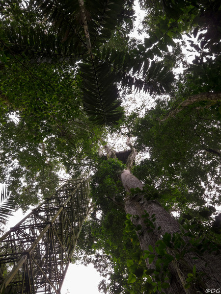 Ecuador, El Oriente, Yasuni National Park: The metallic stairs up to the wooden platform about 40 meters up in a giant Ceiba tree.