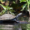 Ecuador, El Oriente, Yasuni National Park, Añangu Lake: Amazon River Turtle.