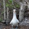 Ecuador, Galápagos, Genovesa: Nazca Booby in it's nest.