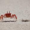 Ecuador, Galápagos, San Cristóbal, Cerra Brujo beach: Ghost Crab.