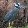 Ecuador, Galápagos, North Seymour: Yellow-Crowned Night-Heron (Gulkronad natthäger).