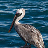 Ecuador, Galápagos, North Seymour: Brown Pelican, adult, non-breeding (Brun pelikan).