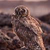 Ecuador, Galápagos, Genovesa: Resting but watchful Short-Eared Owl.