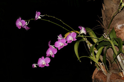 Night Orchid, Bang Tao Beach