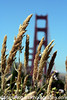 Golden Grains<br /> Golden Gate Bridge<br /> San Francisco