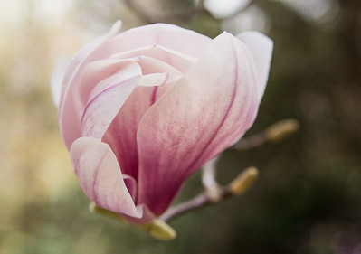 Magnolia-1-5